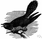 European cuckoo - common cuckoo of Europe having a distinctive two-note call