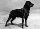 Rottweiler - German breed of large vigorous short-haired cattle dogs
