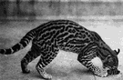 ocelot - nocturnal wildcat of Central America and South America having a dark-spotted buff-brown coat