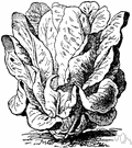 leaf lettuce - distinguished by leaves having curled or incised leaves forming a loose rosette that does not develop into a compact head