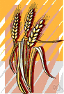 cereal - grass whose starchy grains are used as food: wheat