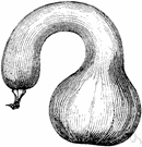winter crookneck squash - a squash with a hard rind and an elongated curved neck