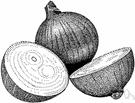 onion - the bulb of an onion plant