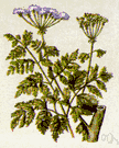 hemlock - large branching biennial herb native to Eurasia and Africa and adventive in North America having large fernlike leaves and white flowers