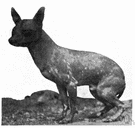 Mexican hairless - any of an old breed of small nearly hairless dogs of Mexico