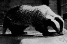 Eurasian badger - a variety of badger native to Europe and Asia