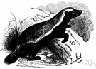 ratel - nocturnal badger-like carnivore of wooded regions of Africa and southern Asia