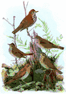 Turdidae - thrushes