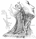 common carotid artery - runs upward in the neck and divides into the external and internal carotid arteries