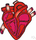 cardiovascular system - the organs and tissues involved in circulating blood and lymph through the body