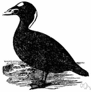 genus Melanitta - scoters