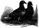 squab - flesh of a pigeon suitable for roasting or braising