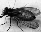 housefly - common fly that frequents human habitations and spreads many diseases