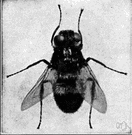 genus Hypoderma - in some classifications considered the type genus of the family Hypodermatidae: warble flies