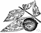 Carya - genus of large deciduous nut-bearing trees