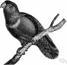 perching bird - a bird with feet adapted for perching (as on tree branches)
