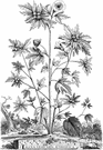 genus Vesicaria - small genus of chiefly Mediterranean herbs: bladderpods