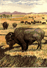 buffalo - large shaggy-haired brown bison of North American plains