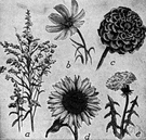 composite - considered the most highly evolved dicotyledonous plants, characterized by florets arranged in dense heads that resemble single flowers
