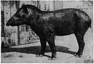 Tapirus terrestris - a tapir found in South America and Central America