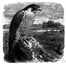 peregrine falcon - a widely distributed falcon formerly used in falconry