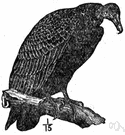 Cathartes - type genus of the Cathartidae: turkey vultures
