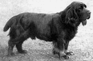 Sussex spaniel - an English breed with short legs and a golden liver-colored coat