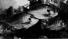 bluegill - important edible sunfish of eastern and central United States
