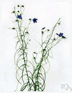 harebell - perennial of northern hemisphere with slender stems and bell-shaped blue flowers