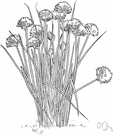 chives - perennial having hollow cylindrical leaves used for seasoning