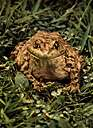 American toad - common toad of America