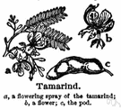 tamarind - long-lived tropical evergreen tree with a spreading crown and feathery evergreen foliage and fragrant flowers yielding hard yellowish wood and long pods with edible chocolate-colored acidic pulp