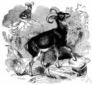 moufflon - wild mountain sheep of Corsica and Sardinia