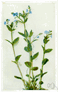 brooklime - European plant having low-lying stems with blue flowers