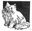 angora - a long-haired breed of cat similar to the Persian cat