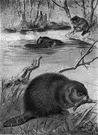 Castor canadensis - a variety of beaver found in almost all areas of North America except Florida