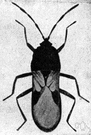 chinch bug - small black-and-white insect that feeds on cereal grasses