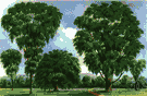 American elm - large ornamental tree with graceful gradually spreading branches common in eastern North America