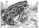 European toad - common toad of Europe