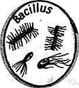 bacillary - formed like a bacillus