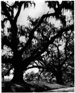 southern live oak - medium-sized evergreen native to eastern North America to the east coast of Mexico