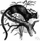 Cryptoprocta - large primitive cat-like carnivores inhabiting forests of Madagascar