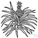 ananas - a genus of tropical American plants have sword-shaped leaves and a fleshy compound fruits composed of the fruits of several flowers (such as pineapples)
