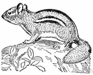 genus Tamias - chipmunks of eastern North America