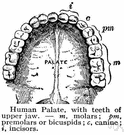 alveolar point - craniometric point that is the most anterior point in the midline on the alveolar process of the maxilla