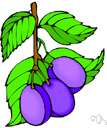 Wild plum - fruit of the wild plum of southern United States
