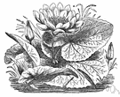 lotus - white Egyptian lotus: water lily of Egypt to southeastern Africa