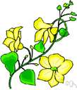 canarybird vine - a climber having flowers that are the color of canaries