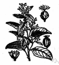 Croton eluteria - West Indian shrub with aromatic bark