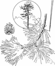 red pine - pine of eastern North America having long needles in bunches of two and reddish bark